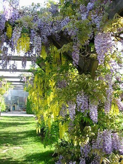 Kletterpflanzen Rankpflanzen Schlinger Als Sichtschutz Im Garten