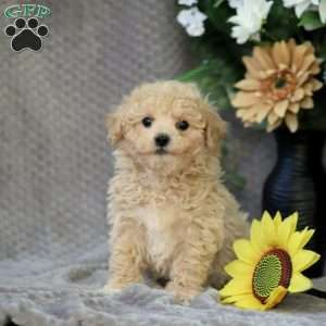 Bich Poo Puppies For Sale Bich Poo Breed Info Greenfield Puppies In 2020 Greenfield Puppies Bich Poo Puppies