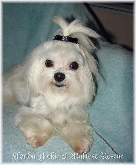 Adopt Timmy On Maltese Dogs Maltese Dogs Puppies