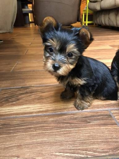 Find Your Dream Puppy Of The Right Dog Breed At Yorkshire Terrier Yorkshire Terrier Breeders Yorkshire Terrier Dog