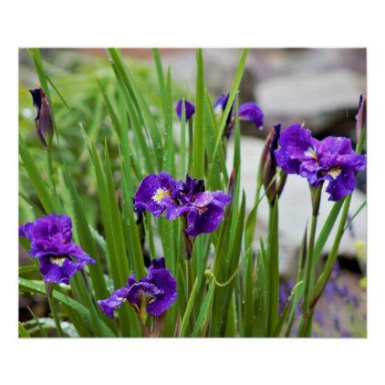 Iris Flower Photo Poster In 2020 Iris Flowers Iris Flower Photos Flowers