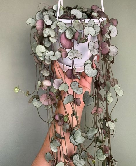 The Lovely String of Hearts Succulent – Ceropegia Woodii Cacti And Succulents, Planting Succulents, Garden Plants, Planting Flowers, Succulent Containers, Container Flowers, Container Plants, Container Gardening, Perfect Plants