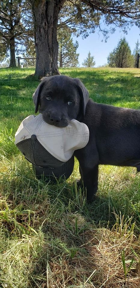 Charcoal Labrador In 2020 Charcoal Lab Puppies Charcoal Labrador Charcoal Lab