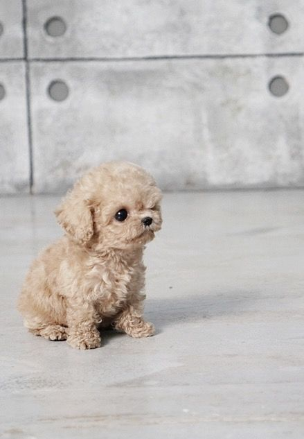 Pete Cream Micro Poodle Dog Breed Names Pets Dogs Breeds