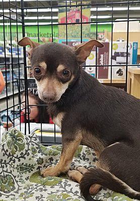 Mount Pleasant Sc Chihuahua Meet Zorro A Pet For Adoption