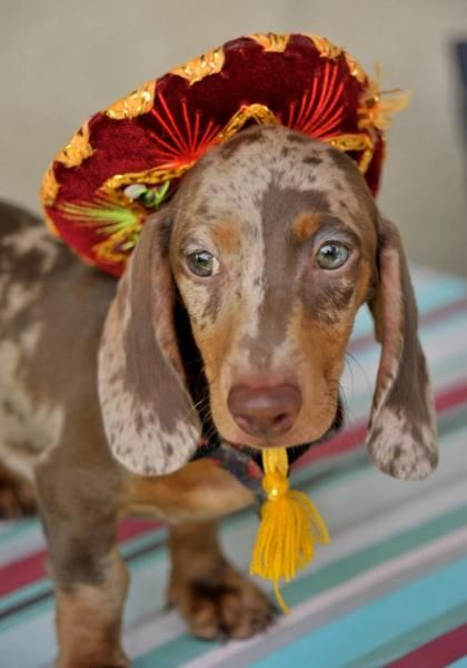 Beautiful Pup From Smith S Barkery In Southern California Dachshund Puppies Dachshund Breed Dachshund Puppy Black