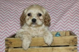 Pin By Nancy Austin On Cockapoo Puppies In 2020 Cockapoo Puppies Cockapoo Lancaster Puppies