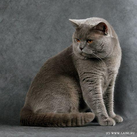 котики породистые фото