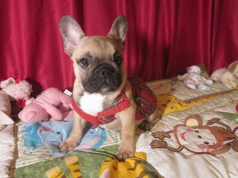 Litter Of 4 French Bulldog Puppies For Sale In Ellijay Ga Adn