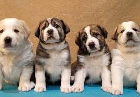 Dogs Puppies For Sale Buy Sell Worldwide Pet Classifieds Puppies For Sale Dogs Dogs For Sale