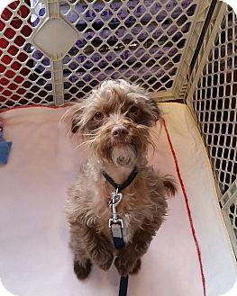 Calgary Ab Lhasa Apso Poodle Miniature Mix Meet Palmer A Dog For Adoption Http Www Adoptapet Com Pet 12428190 Calgary Alberta Dog Adoption Lhasa Apso
