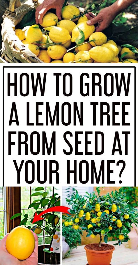 How to Grow a Lemon Tree From Seed In Your Home? - Home Gardenist
