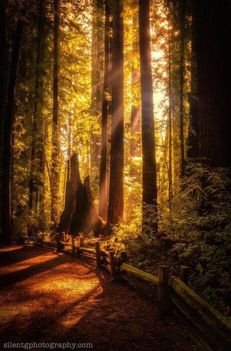 Henry Cowell Redwoods by Mark Gvazdinskas, via Santa Cruz, California; one of my favorite places in the world! Places Around The World, Around The Worlds, Beautiful World, Beautiful Places, Amazing Places, Foto Nature, Paraiso Natural, Baja California, Valley California