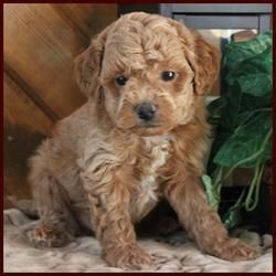 Rosetta S Rolling Meadows Puppies Red Poochon Male Poochon