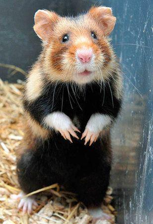 Bonjour Madame Feldhamster Hamster Liebe Niedliche