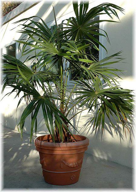 Chinesische Schirmpalme Livistona Chinensis Im Mein Schoner Garten Shop Palmen Pflanzen Palmen Kubelpflanzen