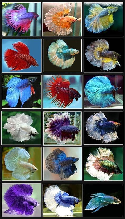 Are you a Halfmoon betta with beautiful, flowing fins? Or are you a fierce Plakat betta, ready to shred any opponent that comes your way? Find out what type of Betta you are with this quiz! Betta Aquarium, Tropical Fish Aquarium, Freshwater Aquarium Fish, Tropical Freshwater Fish, Tropical Fish Tanks, Betta Fish Types, Betta Fish Care, Pretty Fish, Beautiful Fish