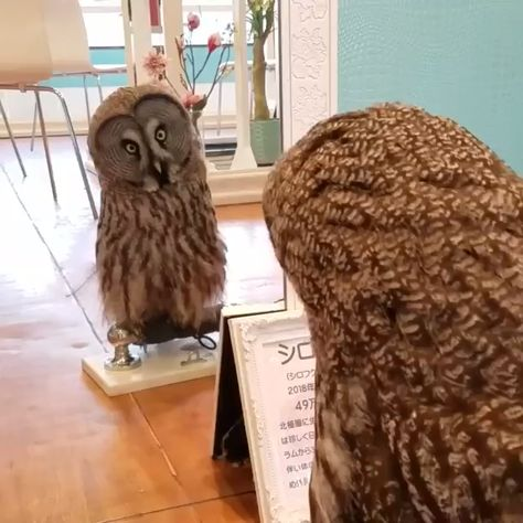 Naughty owl video collection