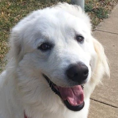 Great Pyrenees Dog For Adoption In Garland Tx Adn 754538 On