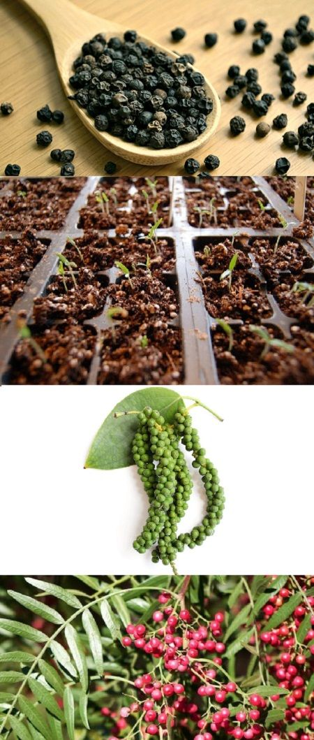 How To Grow Black Pepper Plant Growing Peppercorn Grow Black