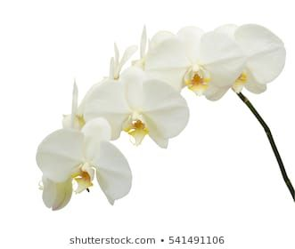 Similar Images Stock Photos Vectors Of White Orchid Isolated On White Background 426326476 Shutterstock Orchid Flower Phalaenopsis Orchid Orchids