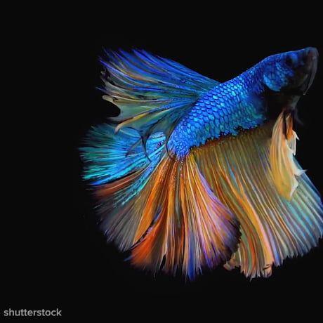 Mesmerizing Beauty Of A Betta Fish Betta Betta Fish Fish Betta fish wallpaper gif cat with