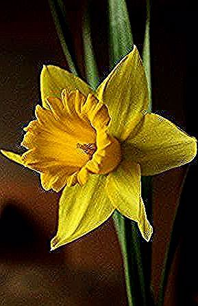 Daffodil Favorite Special Walters Ironic Flower Flower Flower Birth Month This Baby The How Themy In 2020 Flower Drawing Images Daffodils Flower Drawing