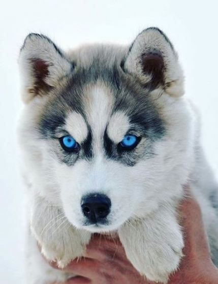 Baby White Husky With Blue Eyes : white, husky, Ideas, Siberian, Huskies, Face,, Husky, Puppy,, Aggressive