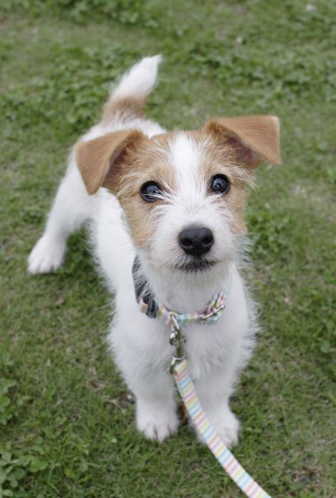 16 Reasons Jack Russells Are Not The Friendly Dogs Everyone Says They Are Dog Friends Terrier Dogs Dog Photos