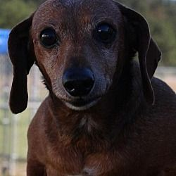 Pin By Lisa Fagan On Weiner Dogs Dachshund Dog Dachshund Mix Pets