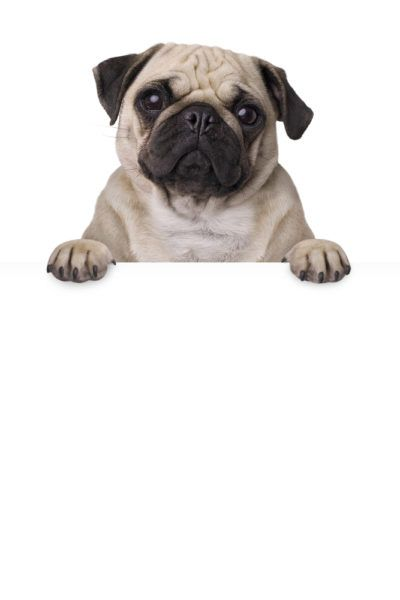 Pug Puppies For Sale Related Searches Pugs For Adoption Small