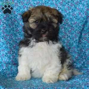 Havanese Puppies For Sale Havanese Breed Profile Greenfield Puppies In 2020 Havanese Puppies Havanese Puppies For Sale Puppies