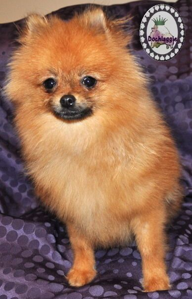 Orange Pomeranian puppy | Pomeranian puppy, Puppies, Cute