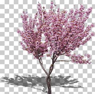 Cherry Blossom Png Images Cherry Blossom Clipart Free Download Cherry Blossom Cherry Blossom Petals Free Clip Art