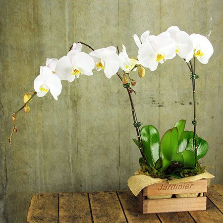 Buy L Orchidee White Orchid Plants In Timber Crate Sydney Metro Only For 119 95 Celebrate In Style With Elegant Whi Orchid Plants White Orchids Orchids