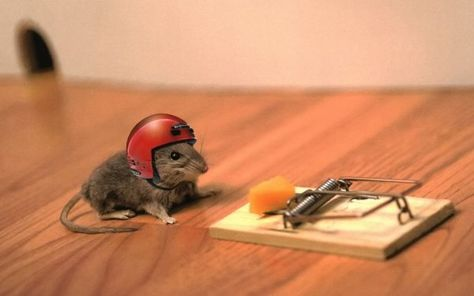 Using Mouse Traps Is An Effective Way To Get Rid Of Mice And Rodents At Home Funny Mouse Funny Rats Funny Animal Pictures