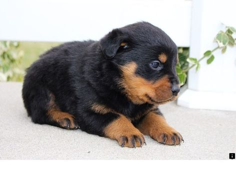Want To Know More About Pitbull Puppies For Sale Check The