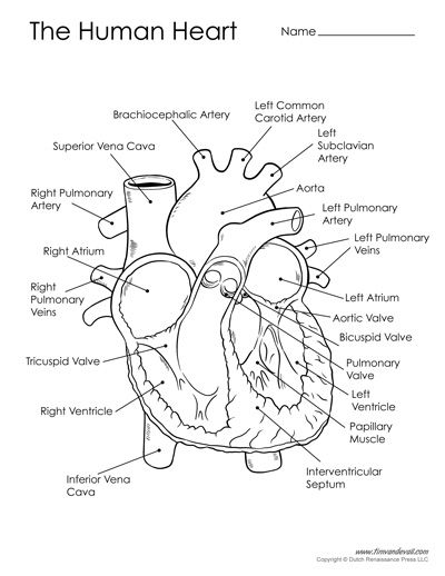 Diagram Of The Human Heart Heart Diagram Basic Anatomy And Physiology Human Heart Diagram