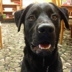 Coldwater Michigan Labrador Retriever Meet Bernie In Training A For Adoption Https Www Adoptapet C Labrador Retriever Labrador Labrador Retriever Mix