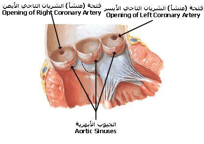 بالصور و الشرح علم وظائف أعضاء جسم الإنسان مع تشريح جسم الانسان Medical Words Body Coronary Arteries