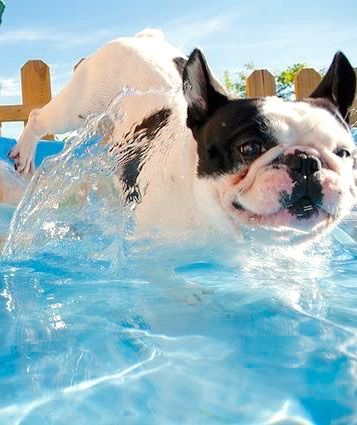 French Bulldog Jumping In The Baby Pool Cute French Bulldog French Bulldog Funny French Bulldog