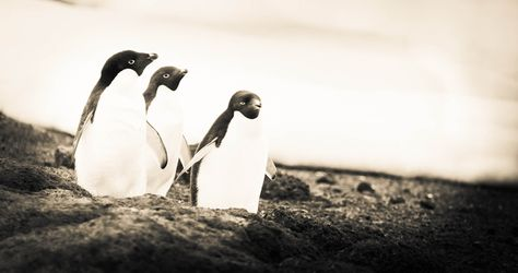 Penguins on their way back to their colony - photo from #treyratcliff Trey Ratcliff at http://www.StuckInCustoms.com