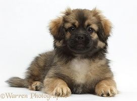 Tibetan Spaniel Dog Puppy 画像あり