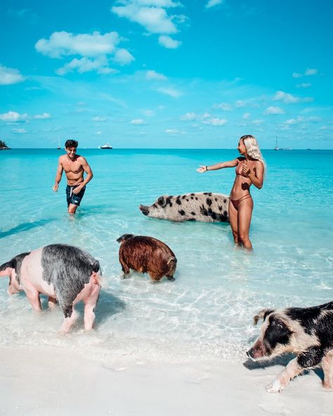 """Eva Gutowski on Instagram: """"These pigs live on a private island and their days consist of swimming, sleeping, and constant eating 😄 lmao when your life goal is to…"""""""