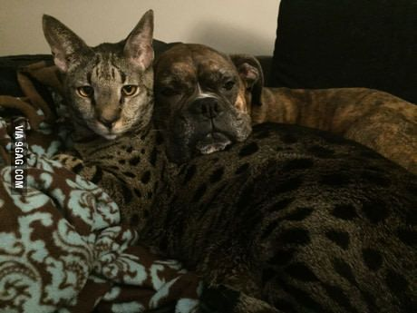 My Boxer Decided To Use My Savannah Cat As A Pillow I Dont Think He Likes It Savannah Cat Ideas Of Savannah Cat Savannah Savannah Cat Savannah Chat Cats