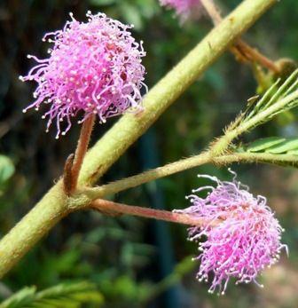 Fotos Plantas Do Cerrado Flores Do Cerrado Biomas E Plantas