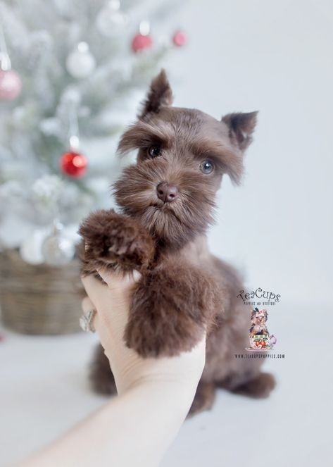 Tiny Toy Schnauzer Puppies   Teacup Puppies & Boutique