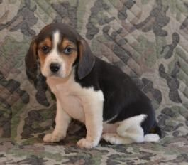 Bubba Beaglespuppy Puppy For Sale In Sugarcreek Oh