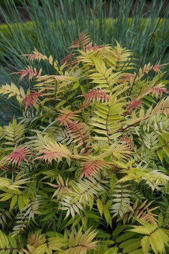 Sorbaria Sorbifolia Sem Garden Plants Design Plants Spirea Plant