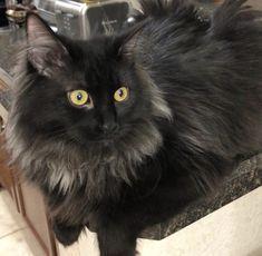 Senpai Knows Fluffy Black Cat Cats Fluffy Cat
